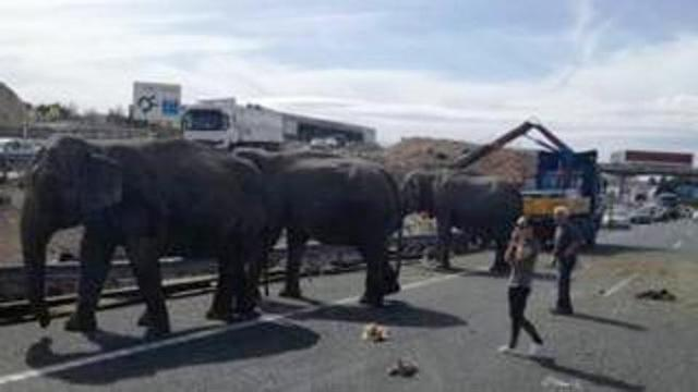 Incidente con il camion da circo: morto un elefante
