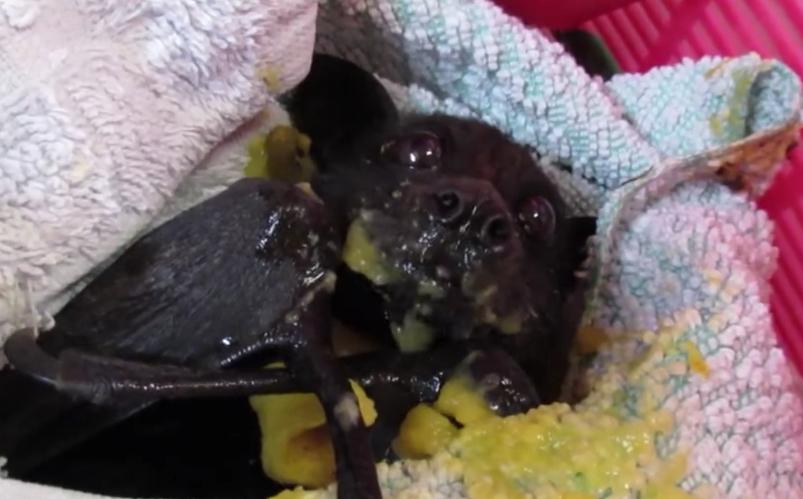 pipistrello-mango