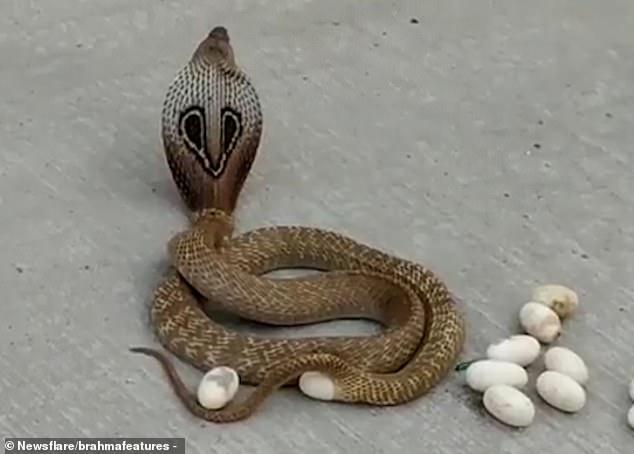 cobra depone uova
