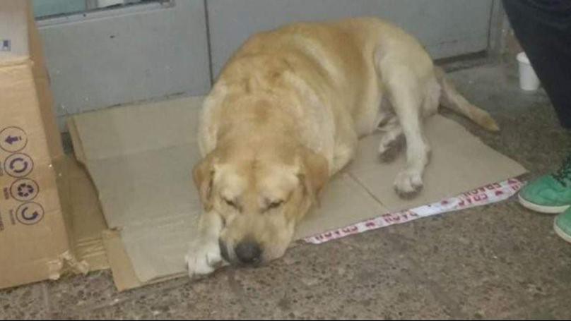 Labrador resta fuori dall'ospedale ad aspettare il padrone ma non sa che è morto