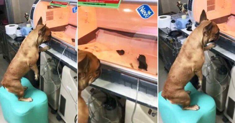 Madre amorevole guarda i suoi cuccioli nati prematuri mentre si trovano in un'incubatrice / VIDEO