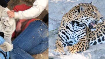 Selfie pericoloso col giaguaro allo zoo: donna attaccata e ferita dal felino