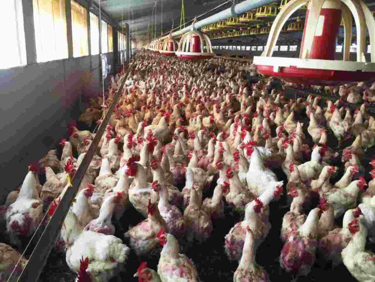 aviaria in Cina, 4.500 polli infetti