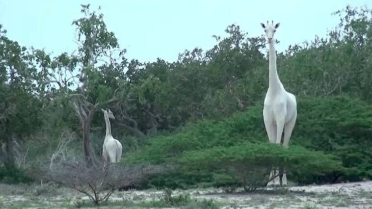 Giraffa bianca e cucciolo