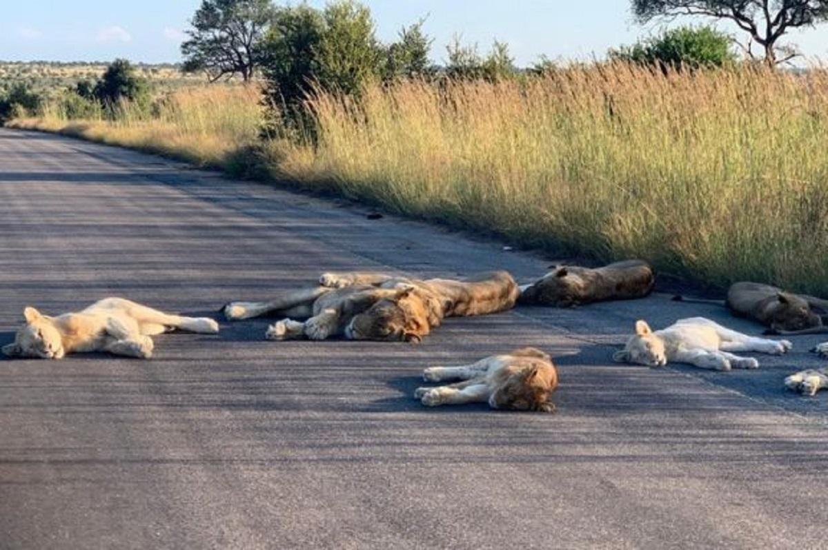 I leoni del Kruger National Park in Sudafrica