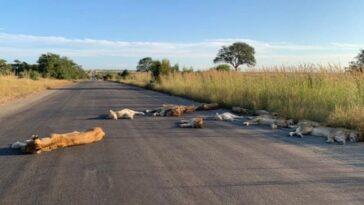 leoni dormono per strada