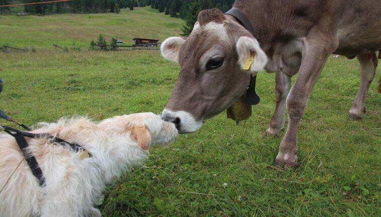 mucca e cane