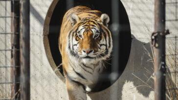 La tigre positiva al Coronavirus