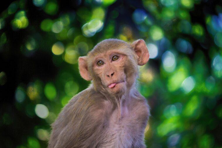 Vaccino anti-Covid sulle scimmie