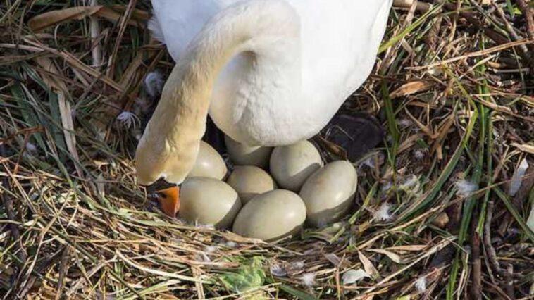 uova di cigno