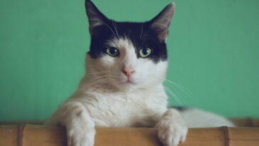 gatto con il coronavirus